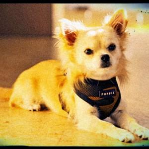 Harnais pour Chihuahua