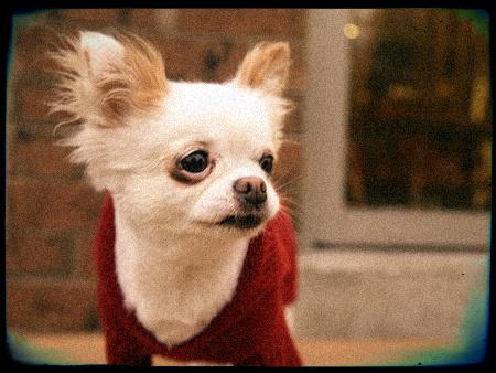 Vêtement pour Chihuahua