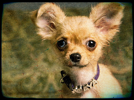 Collier pour Chihuahua