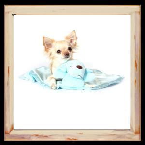 Couverture bleu pour Chihuahua